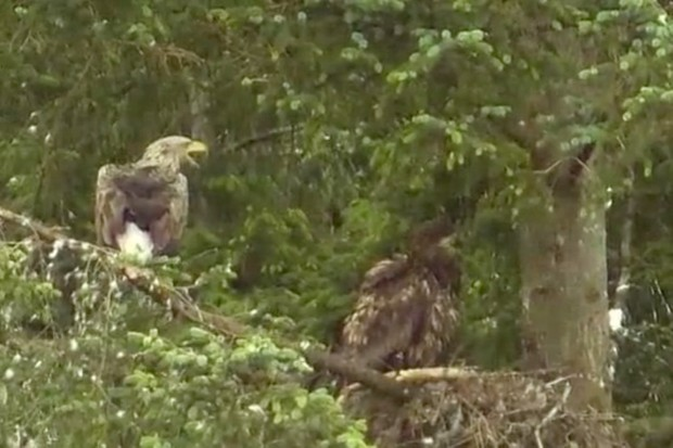 White-tailed-eagle-and-immature-white-tailed-eagle_www.carnyx.tv_623-9009978