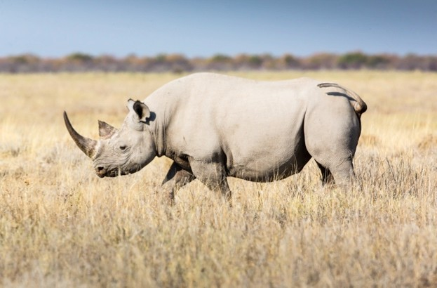 White20rhino_Manuel20Romaris2028Getty292C20Etosa20during20the20dry20season_623-d9170c5