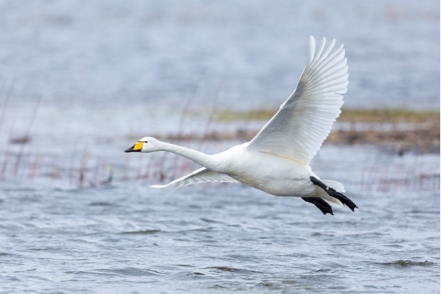 WELNEY, UNITED KINGDOM:  Whooper Swan, Cygnus cygnus, in flight and coming in to land with wings and feathers spread wide at Welney Wetland Centre, Norfolk, England.  (Photo by Tim Graham/Getty Images)