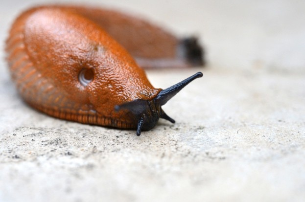 Why do we prefer snails over slugs? © Andia / UIG / Getty