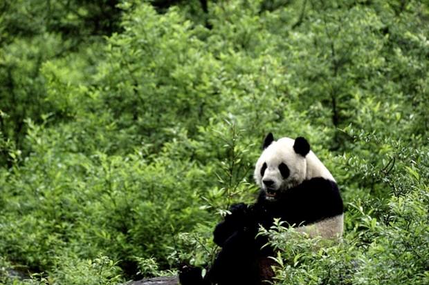 Wild-Giant-Panda-Joseph-Van-Os-Getty_623-fb594b2