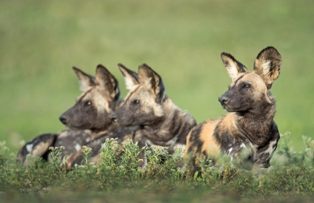 Wild-dogs_Panoramic-Images_Getty_623-a799cb9
