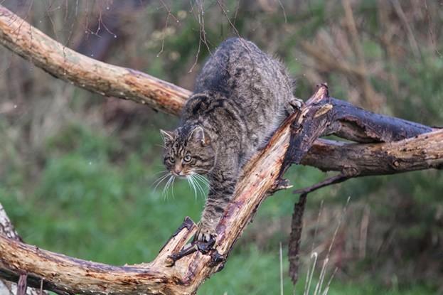 Wildcat-main-b777fe5