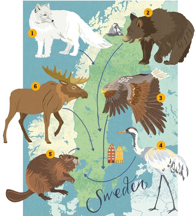 Wildlife-in-Sweden-illustration-by-Dawn-Cooper-cd966cc