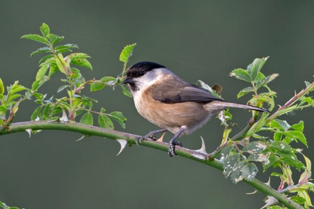 Willow-Tit-c-John-Hawkins_623-f90b534