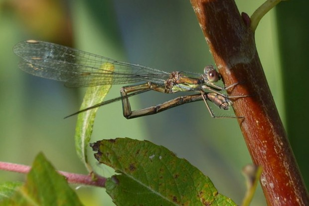 The willow emerald damselfly is becoming a more regular sight in Britain due to climate change. ©Harry Appleyard/The Parks Trust