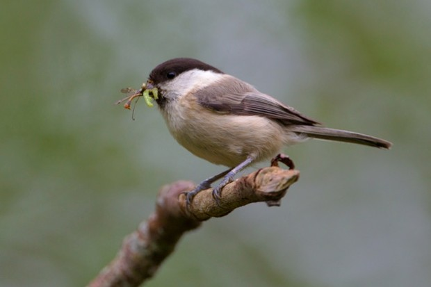 Willow_Tit_credit_to_Edmund_Fellowes_623-e89e8a9
