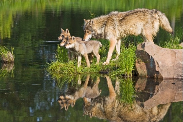 A wolf family in Minnesota, USA © Universal Education / Universal Images Group / Getty