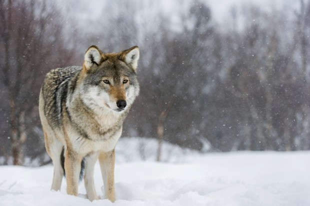 Eurasian Wolves (Canis lupus lupus) in winter fur, under snowfall in controlled conditions, Norway