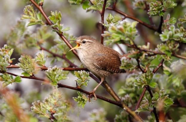 Wren, Troglodytes troglodytes, single bird singing on branch, Warwickshire, April 2012
