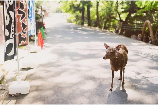 A sika deer at Nara © Yanis Ourabah / Getty