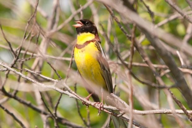 Yellow-Breasted-Bunting_Emberiza-aureola_©Sergey-Yeliseev_623-e4f6383