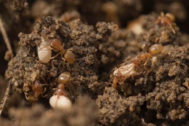 Yellow-meadow-ants_Feb-2018_623-38ad9cb