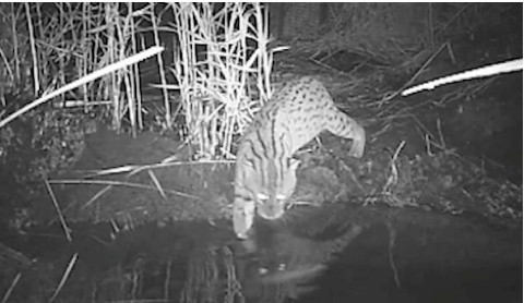 Young-Thai-fishing-cat-goes-fishing-e81a7ad