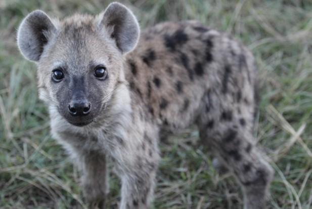 Girl Power – why do female spotted hyenas rule the pack ...