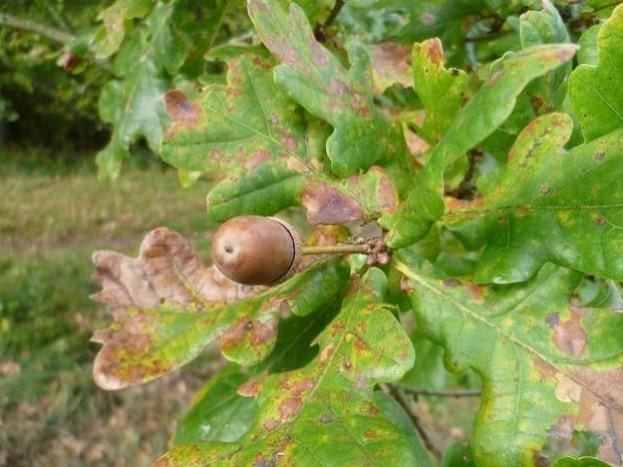 Acorn on an oak tree © Wanda Sowry