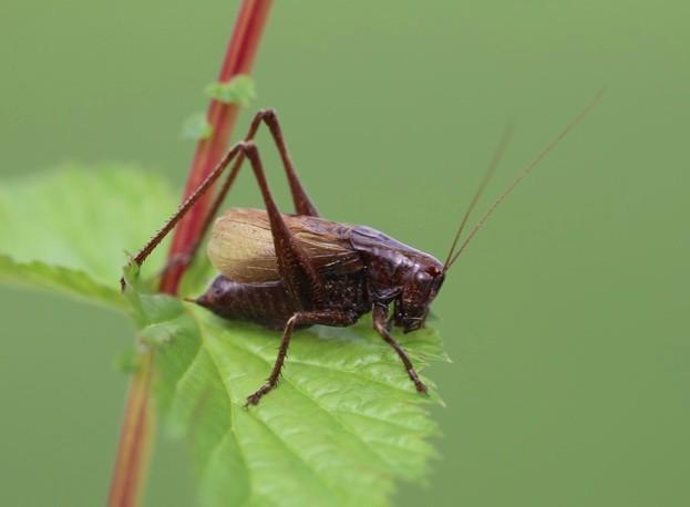 Adriatic Marbled Bush-cricket © Axel Hochkirch