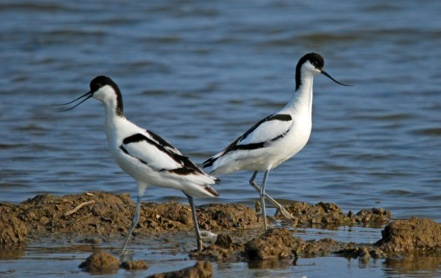 Avocets © Richard Chew