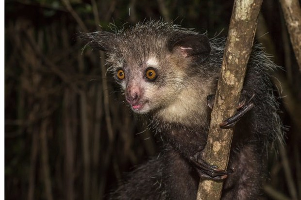 Researchers studied the nectar-drinking aye-aye because of its early evolutionary departure from monkeys and apes. ©javaman3/iStock