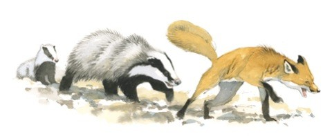 badger-and-fox2_480-a9afc10