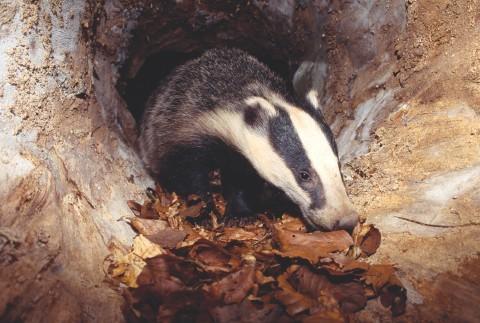Badger (Meles meles) cub inside hollow log, Berwickshire, Scotland, June