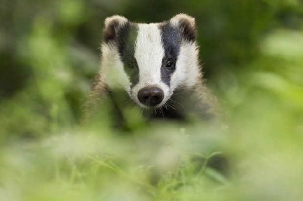 Too many badgers died cruel deaths in the first year of culling, according to a government-appointed expert panel. © DamianKuzdak/iStock