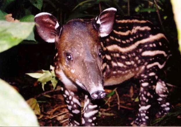 bairds-tapir-baby_623-ae68e52