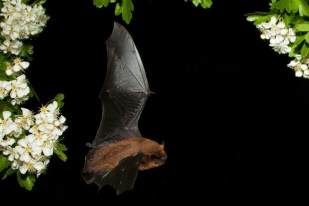 bat_mauriceflynn_623-da23225