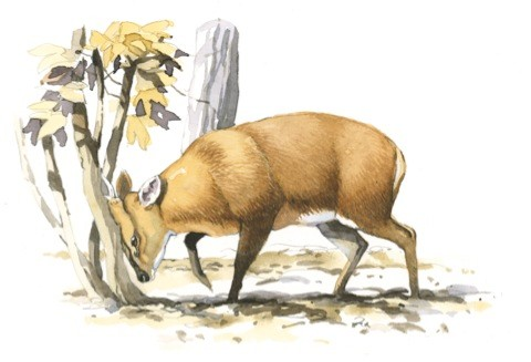 bbc-muntjac02_480-a1ee5a7