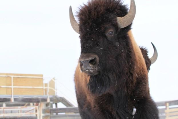 Banff Bison Translocation 2017. Johane Janelle / © Parks Canada