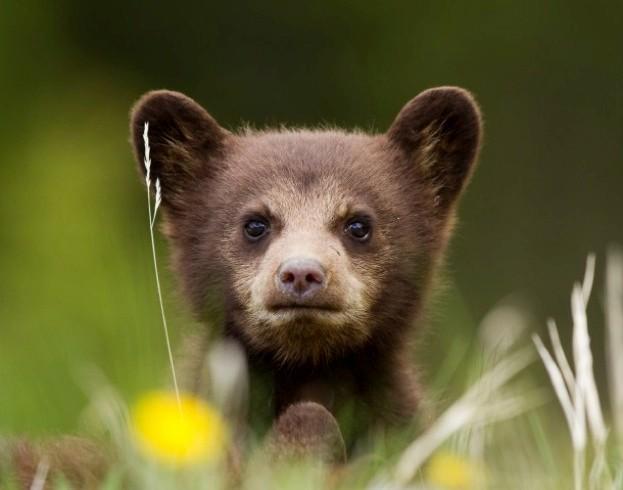 black-bear_TerriShaddick_623-302c64e