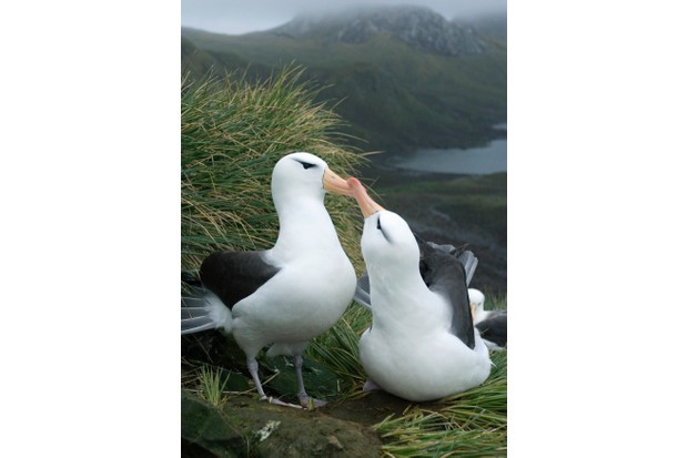 South Georgia Island sub-Antarctic Black Browed Albatross (Diomedea melanophris) Courtship Bird Island  December 2005