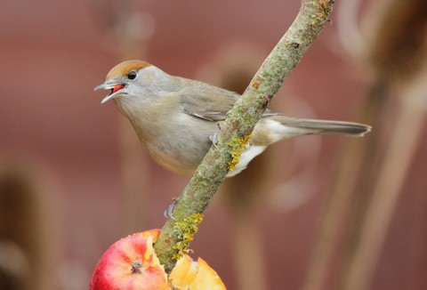 blackcap_28female29_by_nick_stacey-8b0f82e