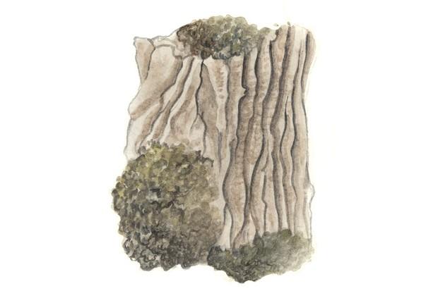Black poplar tree bark