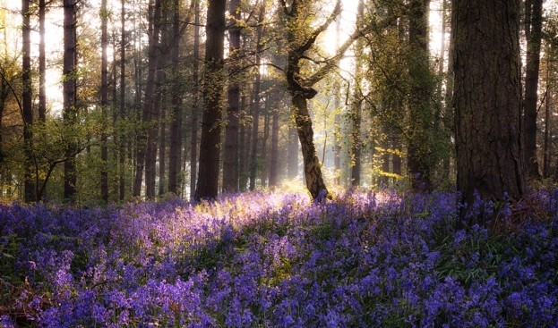 Sunrise over bluebells in Warwickshire © Ben Waters/Getty