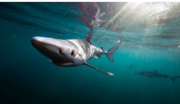 Governments have been called upon to stop uncontrolled fishing of blue sharks. © Big Wave Productions