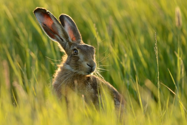 Brown hares are under threat in the UK due to habitat loss from large scale farming. © Andy Rouse /NPL/Getty