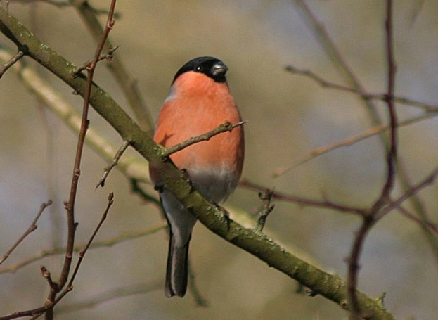 bullfinch_ShaunDonockley_623-30bcc75