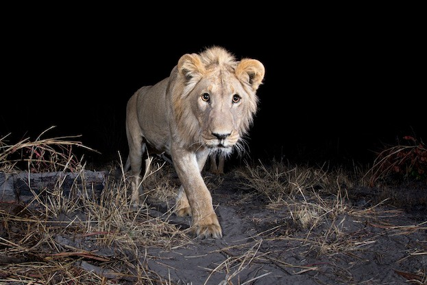 Camera trap image taken by Will Burrard-Lucas using Camtraptions PIR motion sensor.
