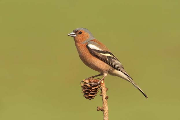 Male chaffinch © Adrian Dancy/BTO