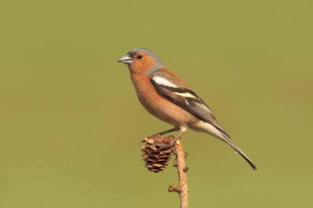 Male chaffinch ©Adrian Dancy/BTO