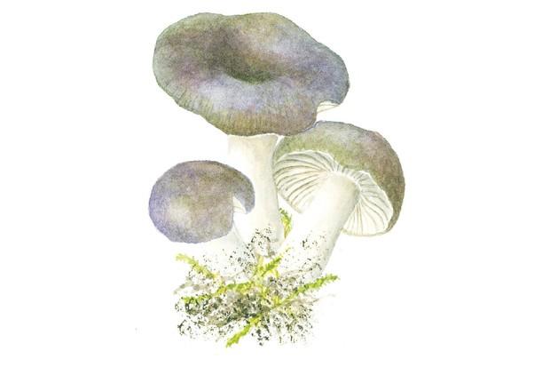 Charcoal burner mushroom