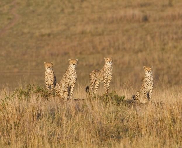 cheetah_623-5f20ce9