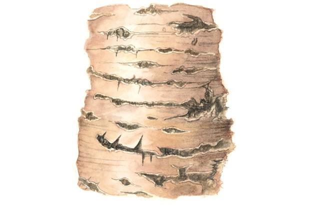 Wild cherry tree bark