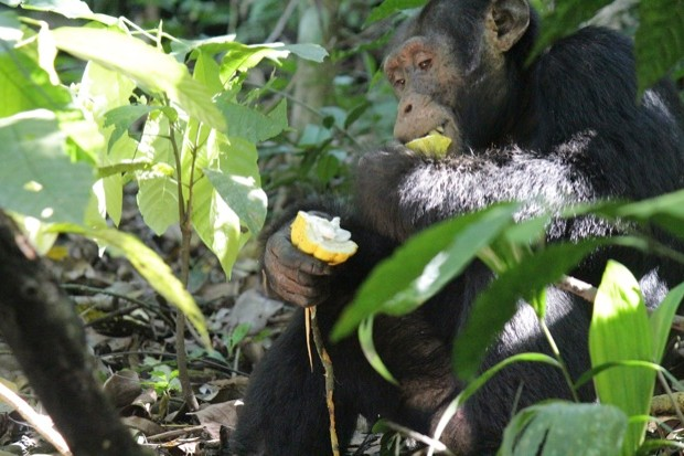 Chimpanzees help disperse cacao plants by eating their fruits. © Nicola Bryson-Morrison