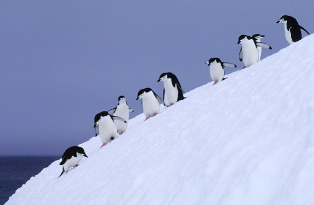 ANTARCTICA - 1994/01/01: South Sandwich Islands, Candlemas Island, Chinstrap Penguins Descending Steep Slope. (Photo by Wolfgang Kaehler/LightRocket via Getty Images)