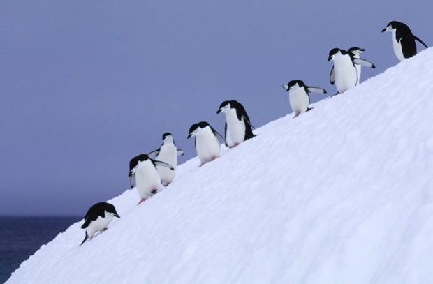 ANTARCTICA - 1994/01/01: South Sandwich Islands, Candlemas Island, Chinstrap Penguins Descending Steep Slope. (Photo by Wolfgang Kaehler/LightRocket via Getty Images)