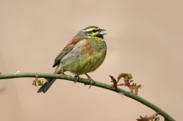 Extending as far south as northern Africa, the cirl bunting is at the limit of its European range in southwestern England. © MikeLane45 / iStock