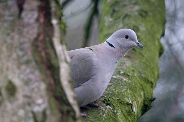 8 Collared Dove Facts You Need To Know Discover Wildlife
