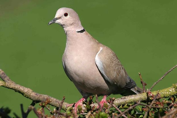Eurasian collared dove perched on a small branch with a green background